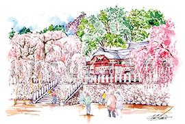 諏訪神社のしだれ桜(小川)